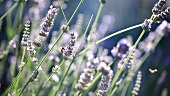 Flowering lavender and bees