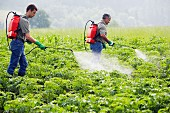 Farmers treating potato plants with sprayer (fertilizer, insecticide, pesticide), Gipuzkoa, Euskadi, Spain