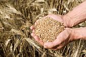 Wheat grains, Harvesting of cereals, 'Learza' estate, Near Estella, Navarre, Spain