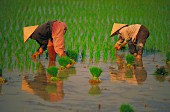 Women picking rice, Vietnam