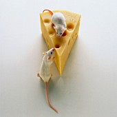 Two mouses eating a piece of cheese