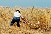 Man cutting wheat with a scythe, Los Realejos, Tenerife Island, Canary Islands, Spain