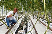 Tomatoes being checked in a greenhouse