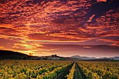 Vineyard, Carneros Region, Napa County, California, USA