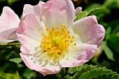 Dog rose, Pyrénées-Orientales, Languedoc-Roussillon, France