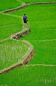 Path through paddy field, Ban Ko Muong, Hoa Binh province, Vietnam