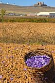 Picked saffron, Consuegra, Toledo, Castilla-La Mancha, Spain