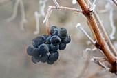 Tempranillo grapes, Rioja, Spain