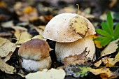 Two ceps on the forest floor