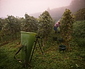 Weinbäuerin bei der Weinlese am Kaiserstuhl (Baden)