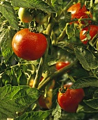 Tomatoes with Dew Drops on the Vine