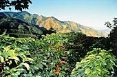 Coffee Bean Plantation in Costa Rica