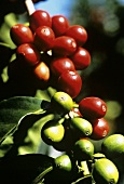 Arabica Beans (Coffee Beans) at the Plant