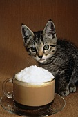 Kitten with Cup of Cappuccino