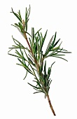 Sprig of Fresh Rosemary