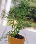 Fresh Dill Growing in a Clay Pot
