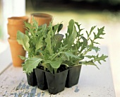 Assorted Lettuce Seedlings