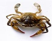 Live crab (Blue crab, Callinectes sapidus)
