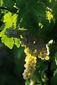White Grapes on a Vine; Malvasia Trebbiano Albano Tuscany