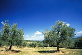 Two Olive Trees in Tuscany