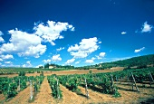 Weingarten in der Toskana unter blauem Himmel