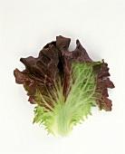 Red Leaf Lettuce Leaf
