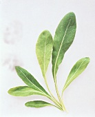 Leaves of Lamb's Lettuce