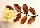 A Chocolate Magnolia