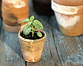 A Basil Seedling in a Small Pot