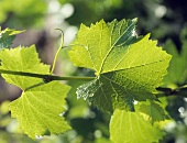 A Grape Leaf Hanging in the Sun