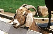 Tan Nubian Milk Goat,Ram, Full Face, Close-Up