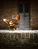 Live Rooster Walking on a Brick Wall
