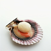 Raw scallop in the shell