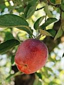 Ein roter Apfel am Baum