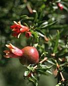Mini-pomegranates and flowers on the tree