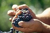 Hands holding red wine grapes (vineyard: Temecula, California)