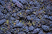 Red wine grapes from a vineyard in Temecula, California