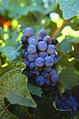 Red wine grapes on the vine (vineyard: Temecula, California)