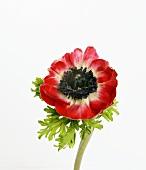 Rote Anemone (bot. Anemone coronaria; poppy anemone)