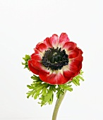 Red anemone (Anemone coronaria; Poppy anemone)