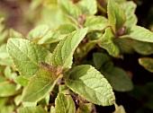 Common or garden sage (Salvia officinalis)