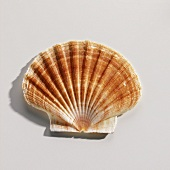 A Scallop Shell on White