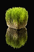 Organic Wheat Grass on Black with Reflection