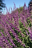 A Field of Flowering Mexican Sage