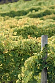 Flowering Vines at a Vineyard