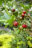 Strawberry Guavas on the Branch