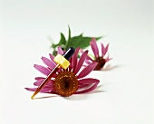 Echinacea Extract in a Dropper With Echinacea Blooms