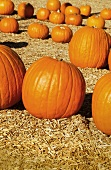 Pumpkins on Hay in Pumpkin Patch