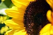 Sonnenblume (Close Up)