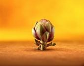 An artichoke in front of an orange background